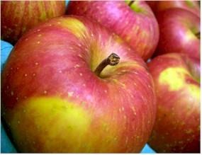 おいしさ本物「葉とらずりんご」
