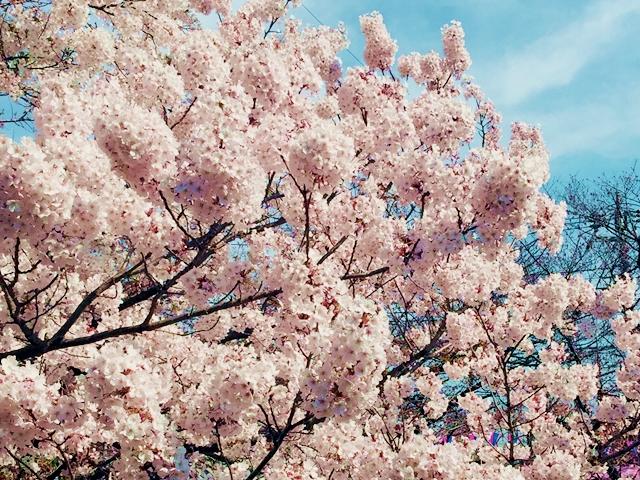 この春ぜひ試してね。本物の桜を使ったお取り寄せ!5選 2016年・春